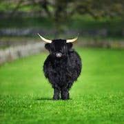 Черный бык
