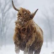 Лохматый бык