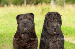 Фото Сонник две черные собаки