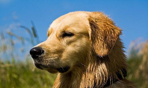 Сонник собака облезлая фото