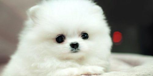 подарили белого щенка