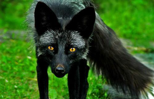 черная лиса