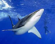 Акула преследует человека