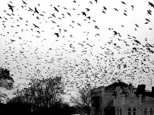 К чему снится вороны черные стая фото