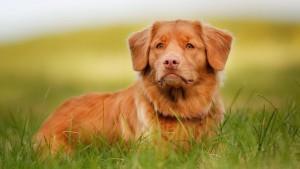 Сонник рыжая собака ластится фото
