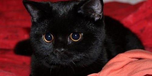 Фото К чему снится черный кот который ласкается