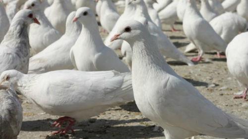 много белых голубей на земле