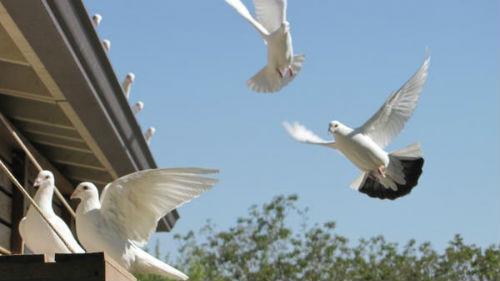 много голубей в доме