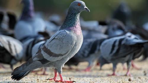 к чему снятся голуби много на улице