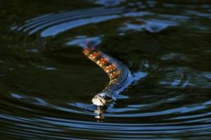 К чему снятся змеи в озере фото