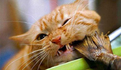 сонник рыжий кот