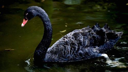 к чему сниться черный лебедь девушке