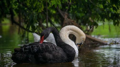 лебеди белые и черные