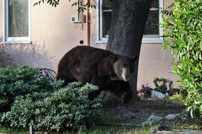 Медведь бродит по городу