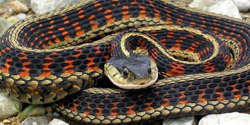 к чему снится хвост змеи