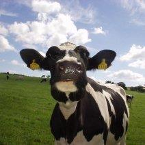 Узнайте, чего ждать, когда снится корова!
