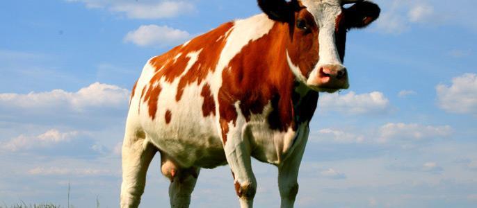 Видеть во сне резать корову фото