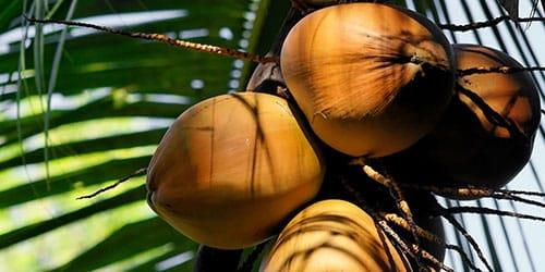 к чему снится кокос