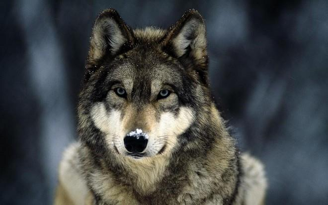 Видеть во сне волка – значения снов