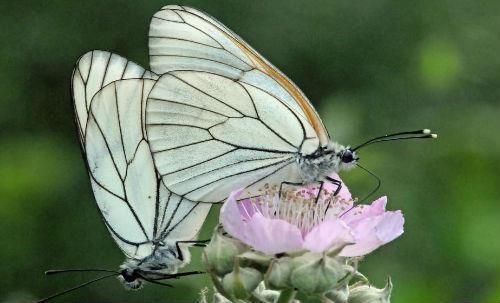Бабочка толкование сонника