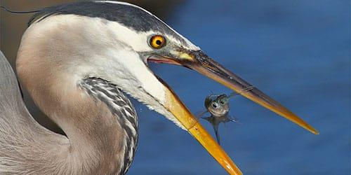 к чему снится что цапля поймала рыбу
