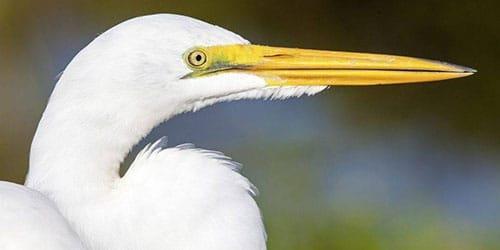 белая птица