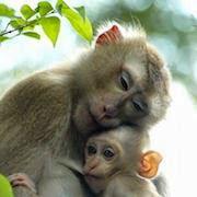 Сон обезьяна
