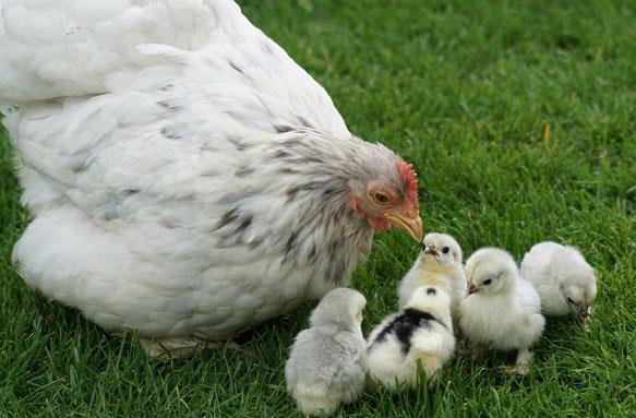 К чему снится что напала курица фото