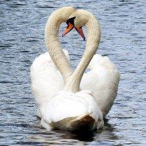 К чему приснились лебеди: значение образа