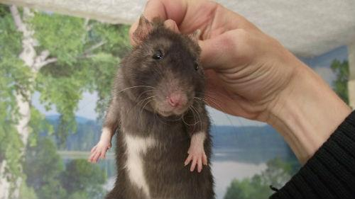 поймать крысу в доме
