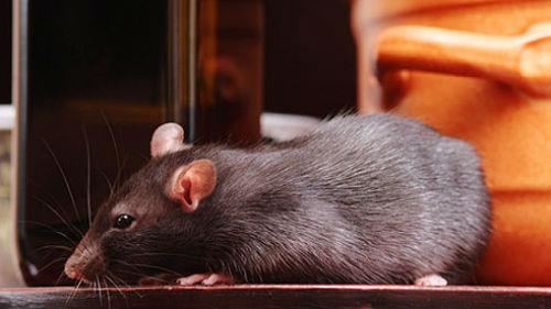 крысы в доме во сне
