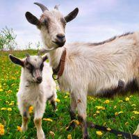 к чему снится коза женщине