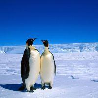 Фото К чему снятся пингвины