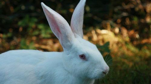к чему снится белый заяц или кролик