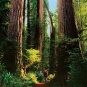 Могучие деревья