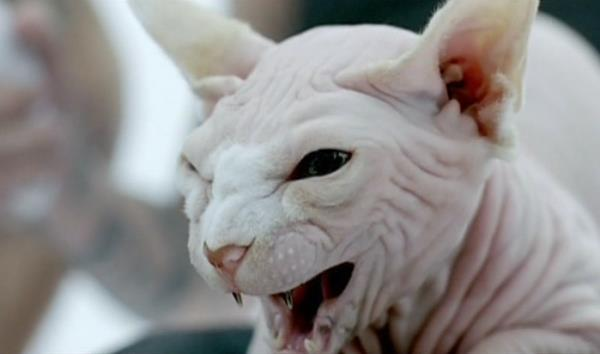 Недовольная морда сфинкса(кота)