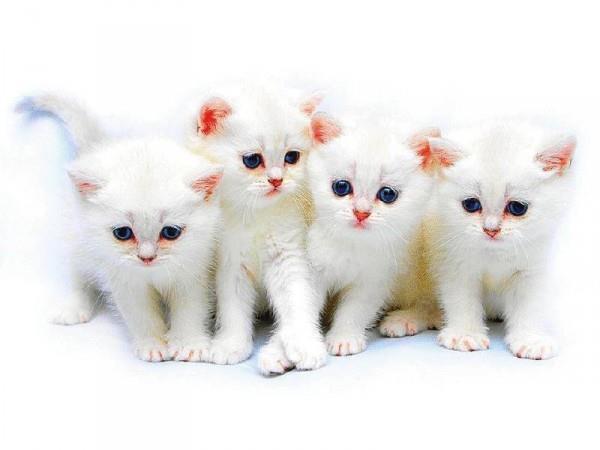 четыре белых котёнка
