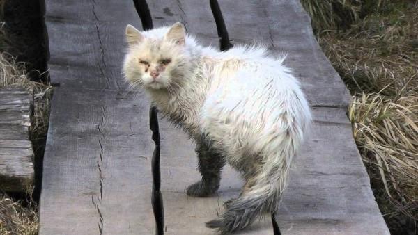 Грязный больной белый кот