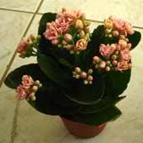 Цветет цветок в горшке