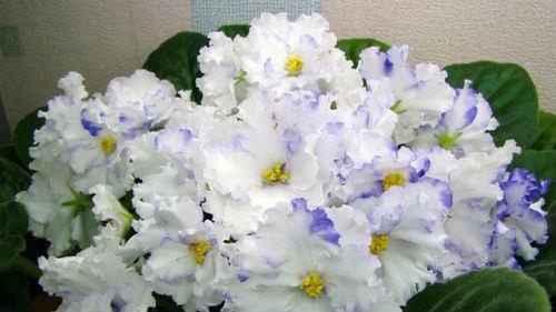 красивые цветущие фиалки