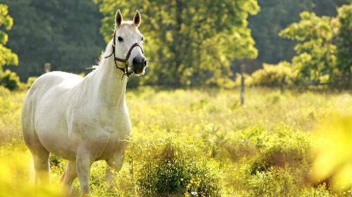 к чему снятся кони лошади