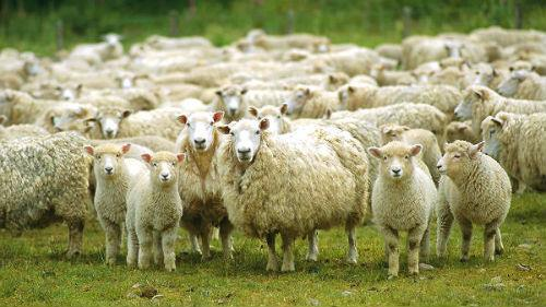 отара овец с ягнятами