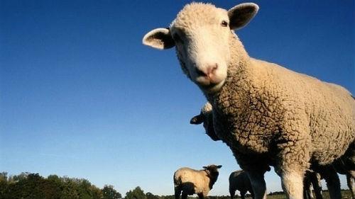 к чему снится овца белая женщине