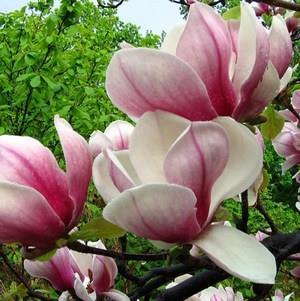 К чему снятся цветущие деревья белыми цветами