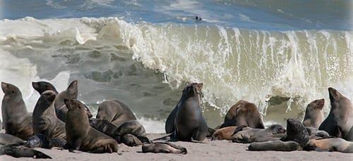 Фото К чему снится морской котик или тюлень