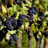 к чему снится виноград собирать