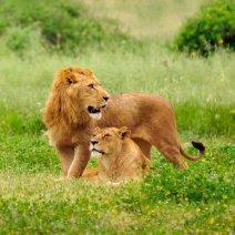 Что значит, если приснились львы?