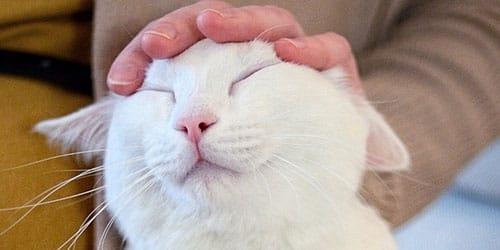 гладить белую кошку