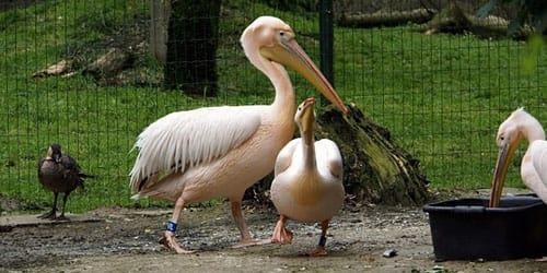 пеликан в зоопарке