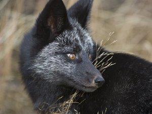 Черная лиса во сне - к дорогим приобретениям